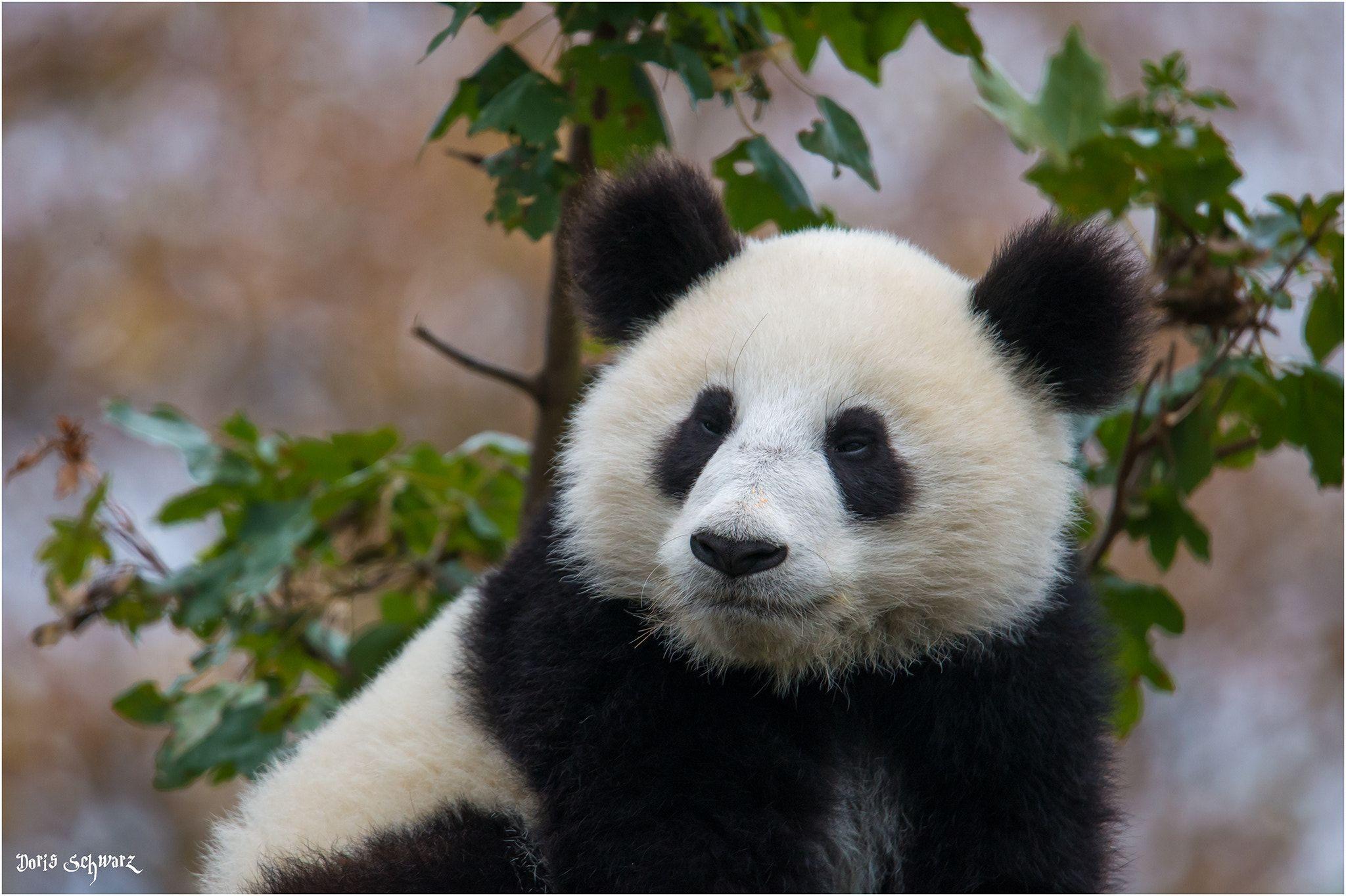 Pandabar Null Panda Bar Pandas Tiere