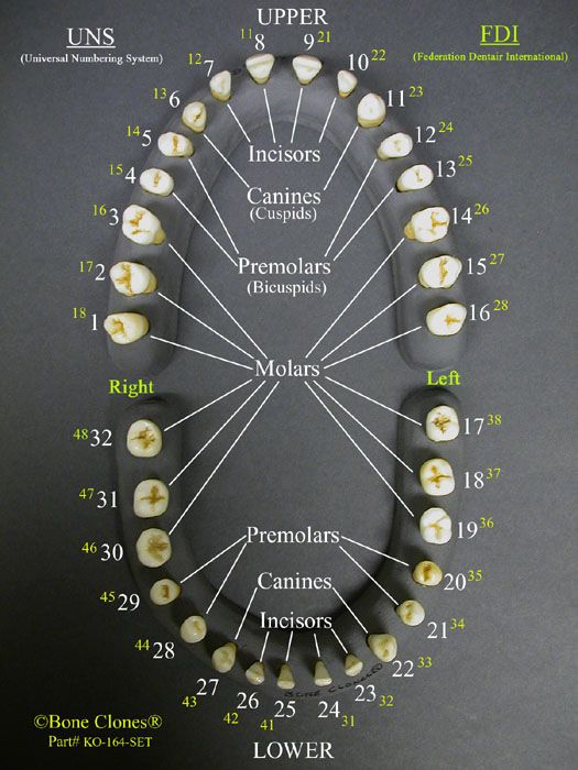Set of 32 Human Adult Male Teeth on Base KO-164-SET | Human Anatomy ...
