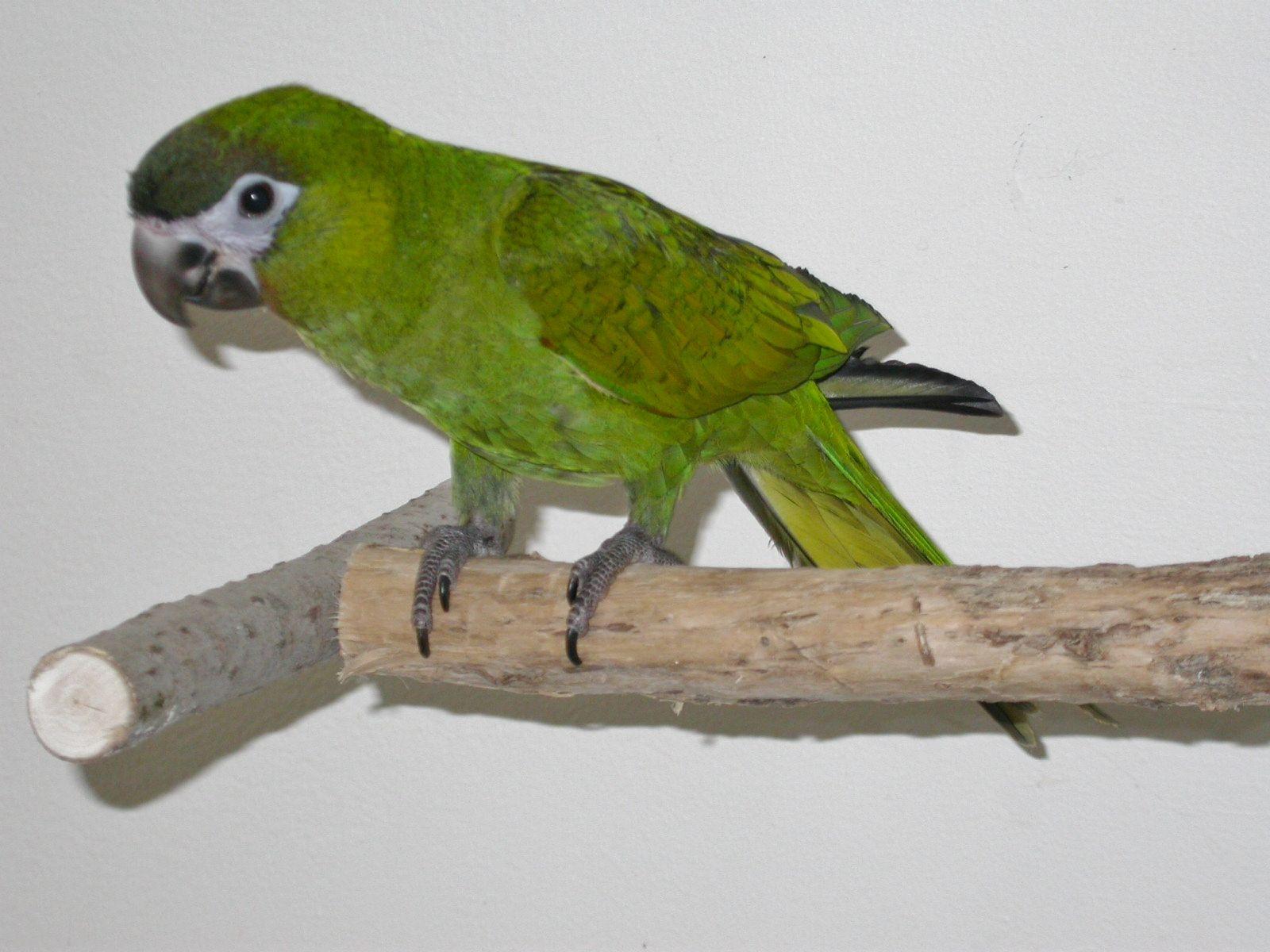 Macaw Hahn's (Redshouldered) Macaw, Birds, Parrot