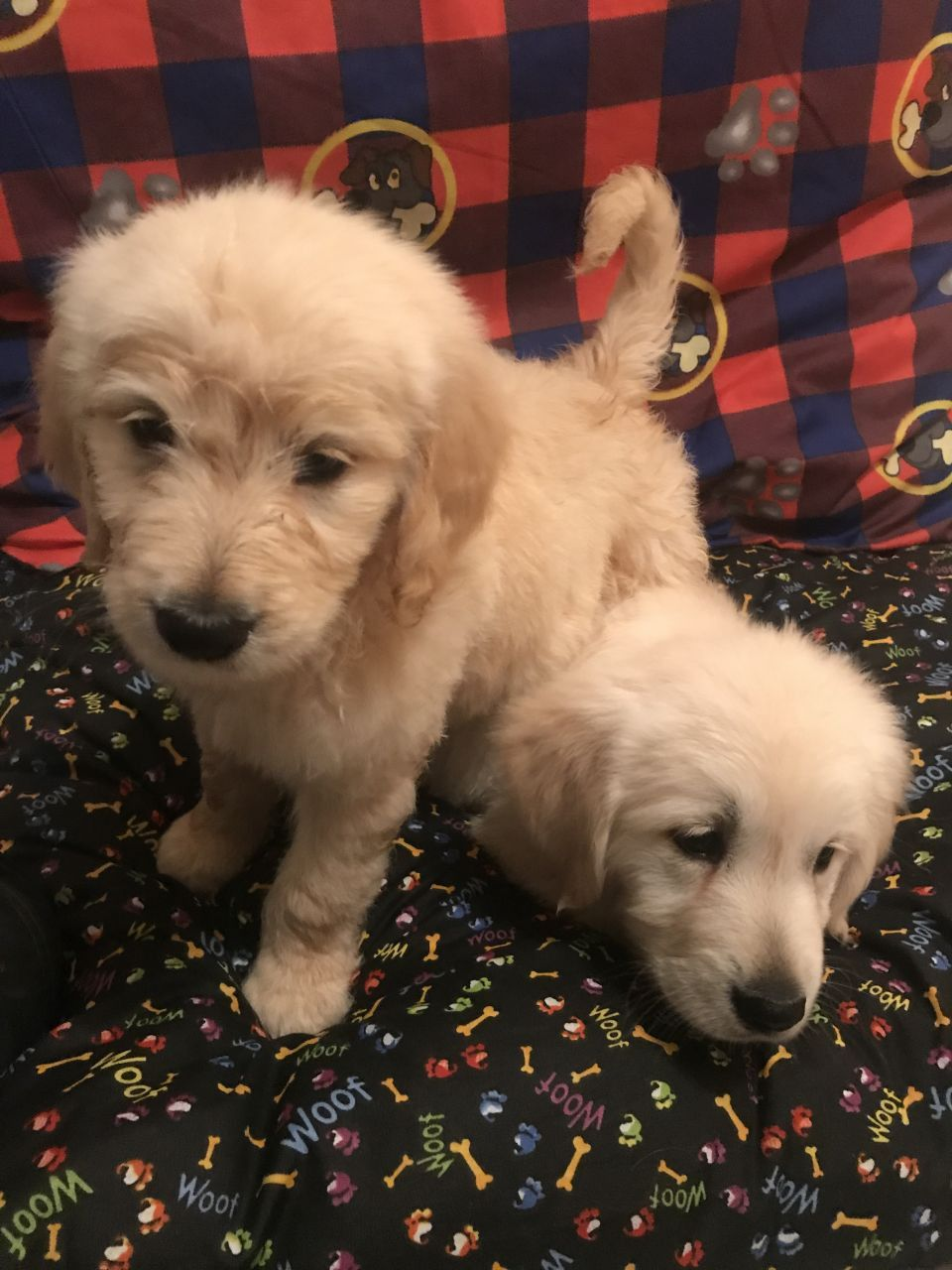 Adorable pedigree golden retriever puppies ready for new