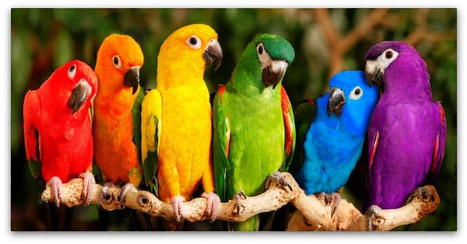 Trademark Global Mike Jones Photo 'Rainbow Parrots' Canvas Art - 32 x 16 x 2
