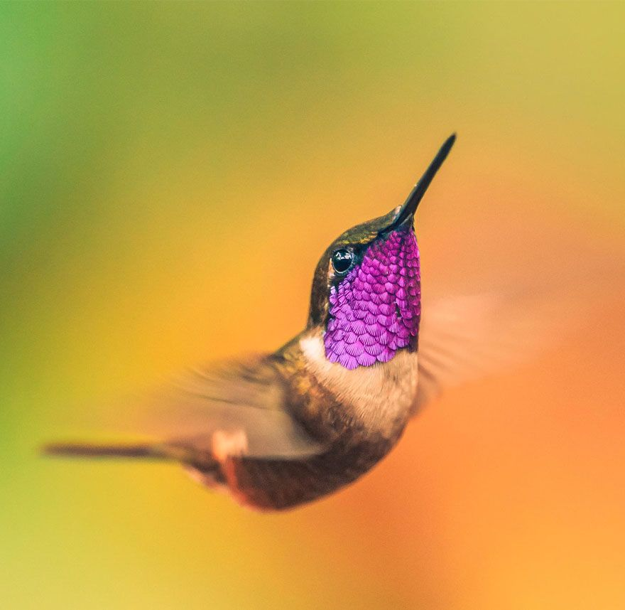 This humming bird in flight is one of the most beautiful things I've seen.