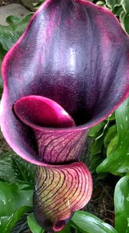Multi Color Calla Lily In 2020 Unusual Flowers Rare Flowers Unique Flowers