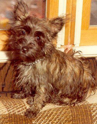 Coco Aca Cairn Terrier Female Puppy Full Price 975 00 Deposit