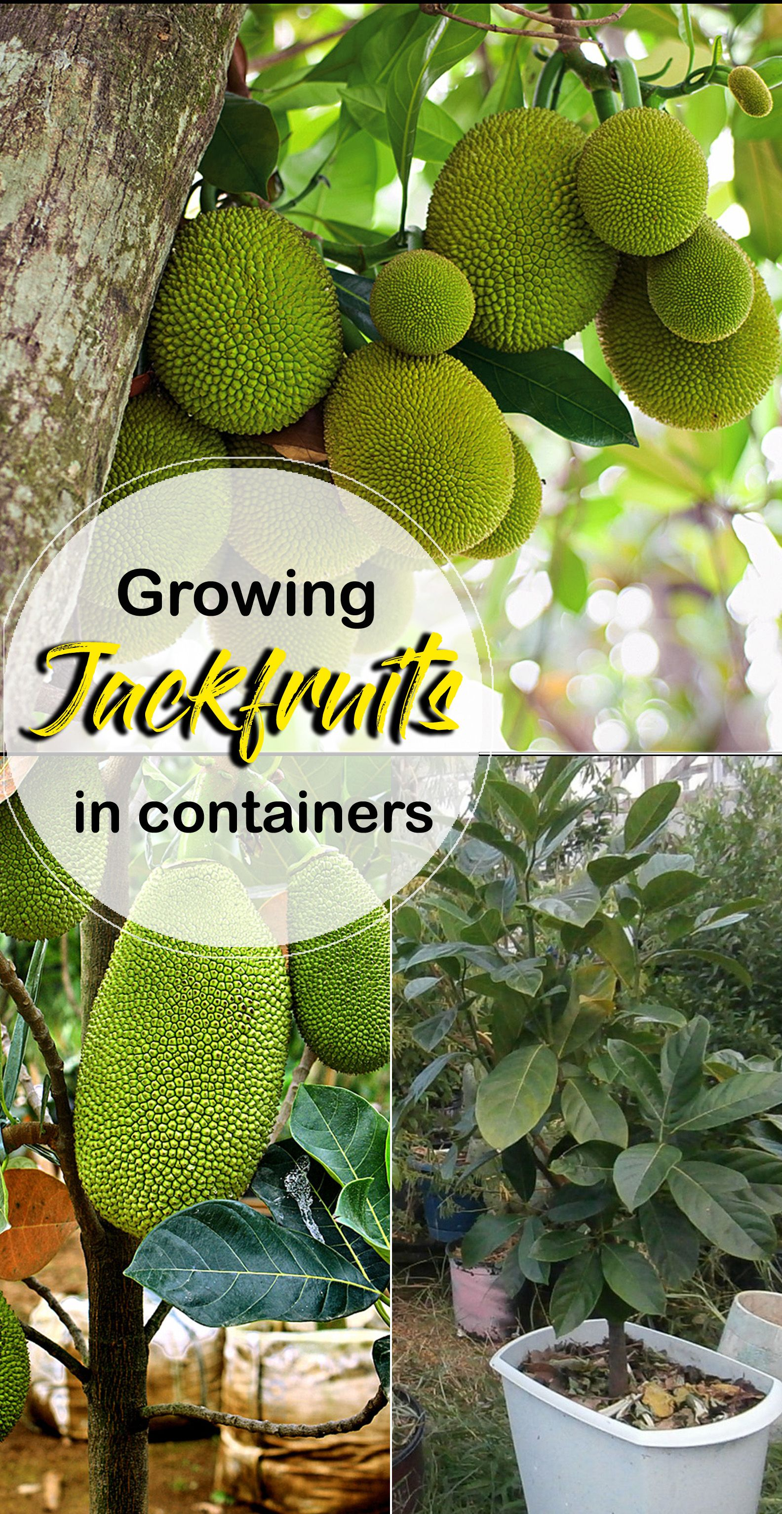 Growing Jackfruit In Containers How To Grow Jackfruit Tree Jackfruit Tree Jackfruit Jackfruit Plant