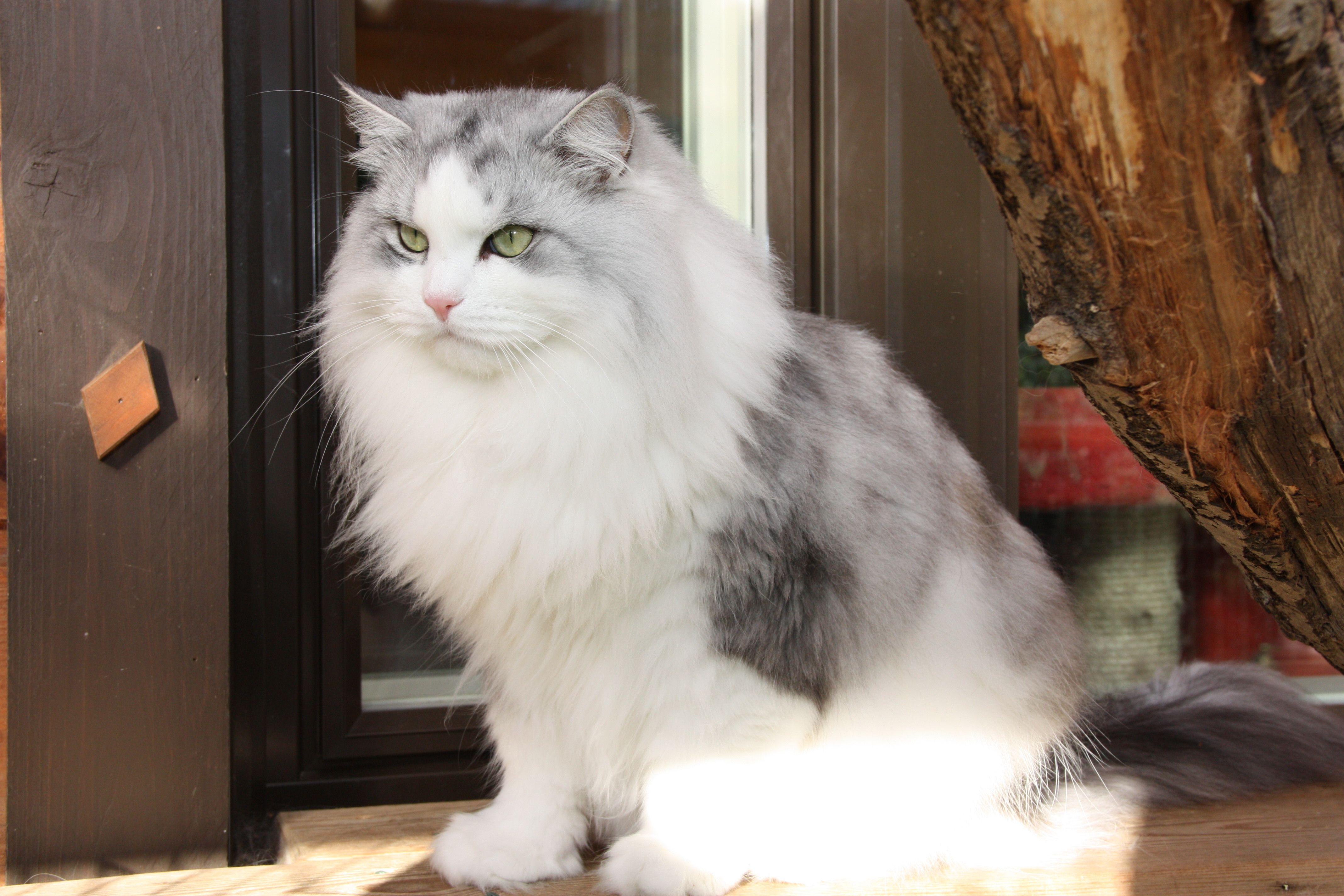 Sw Sc Lumikissan Nopsajalka Dvm Dsm Siberian Cat Animals Cats