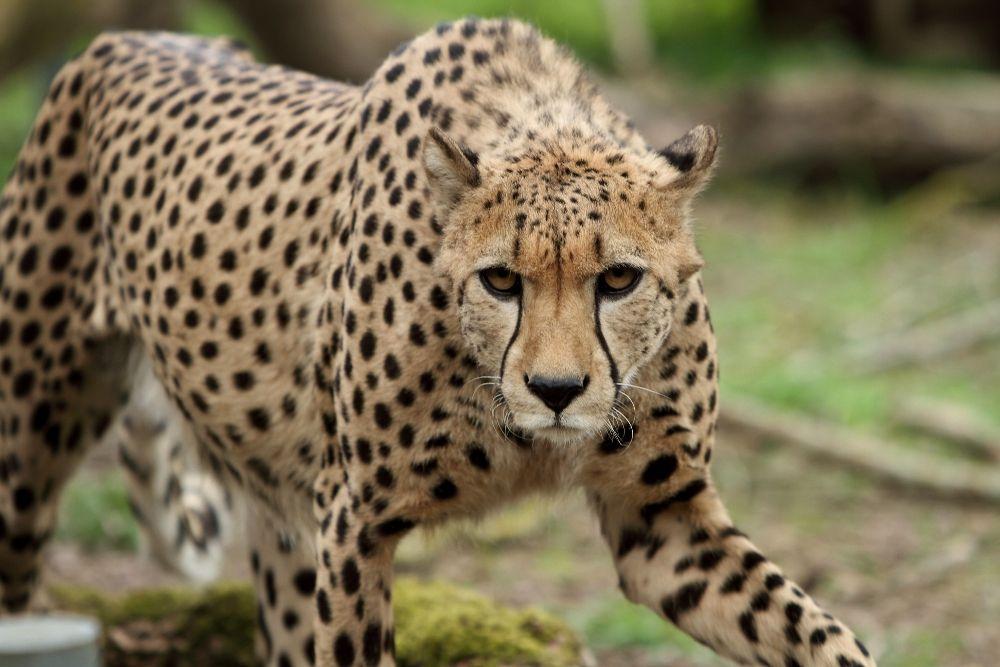 Cheetah approach by AF--Photography.deviantart.com on @DeviantArt