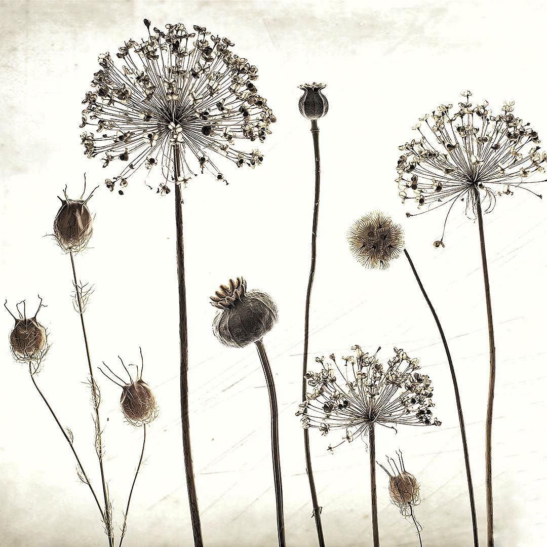 Tis The Season To Gather And Dry Seed Heads Allium Poppy Nigella And Scabious Wildflowers Regram V Flower Seeds Poppies Flower Illustration