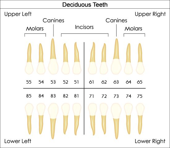 Primary dentition fdi dental charts to understand tooth numbering system also help you the rh pinterest