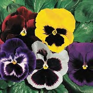 Swiss Giant Pansy Flower Seeds Ebay With Images Pansies Flower Seeds Pansies Flowers