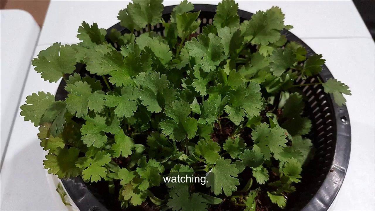 Coriander Cilantro Grow coriander hydroponically Set