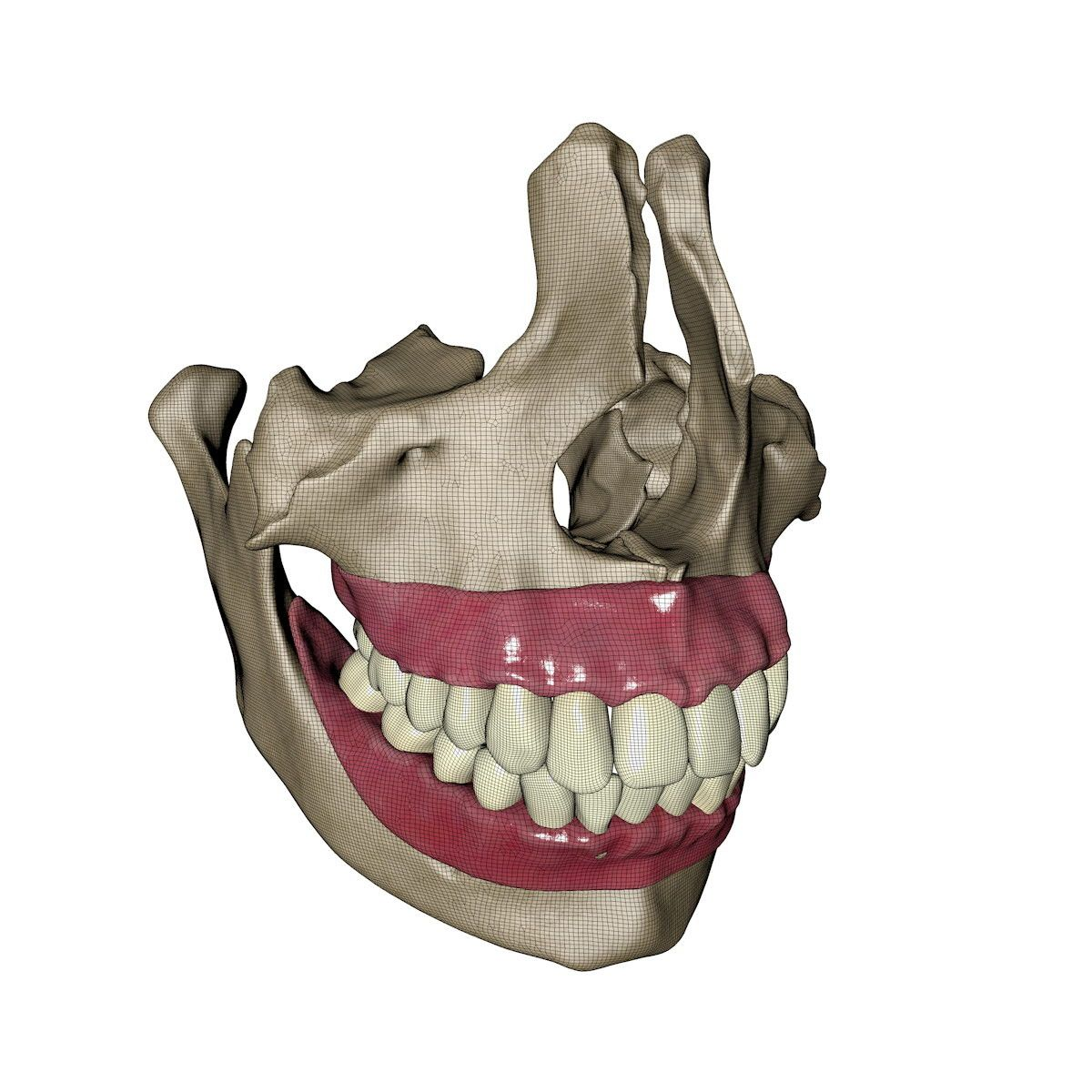 3d human jawbones teeth gums model | MUSCULOSQUELETAL | Pinterest ...