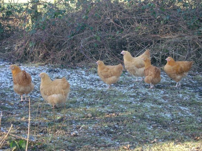 I love this photo of our Buff Orpingtons at Durham Hens