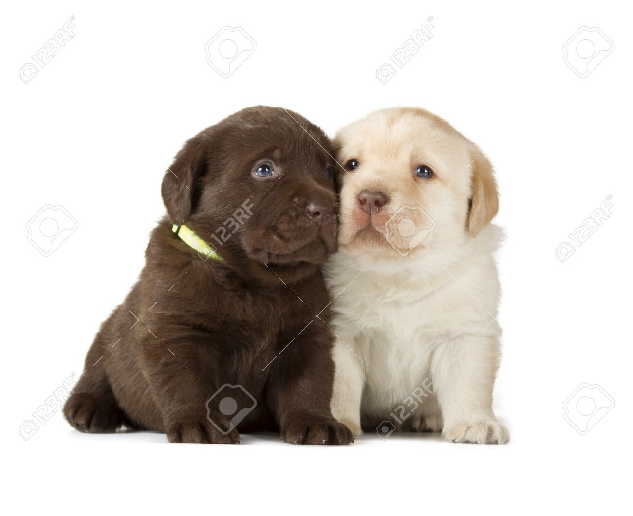 Brown Lab Puppies With Blue Eyes 2021