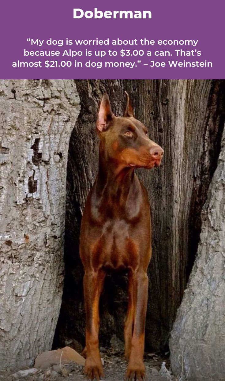 Doberman Pinscher Loyal and Fearless (With images