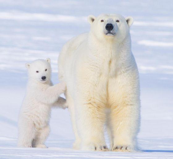 49 Ideas De Osos Osos Osos Polares Oso Polar