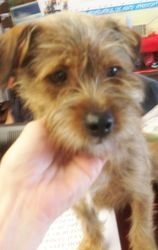 Adopt Jordan On A New Family Member A Puppy Dog Terrier Dogs