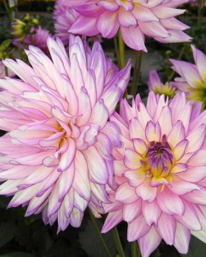 Dahlia...perfection in petal formation!