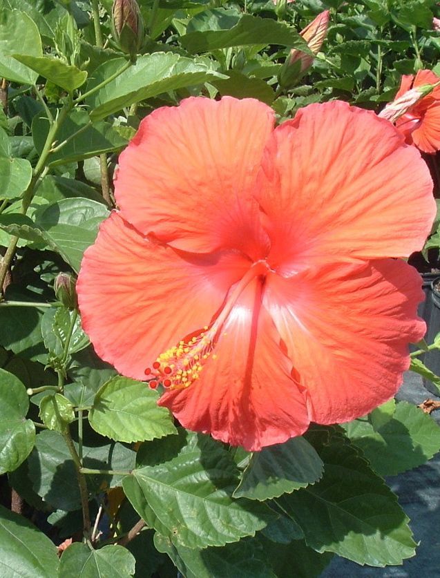 How To Grow Flashy Tropical Hibiscus Indoors Hibiscus Tree Hibiscus Plant Hibiscus Fertilizer
