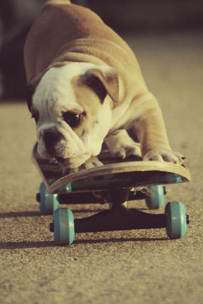 Skateboarding Bulldog.