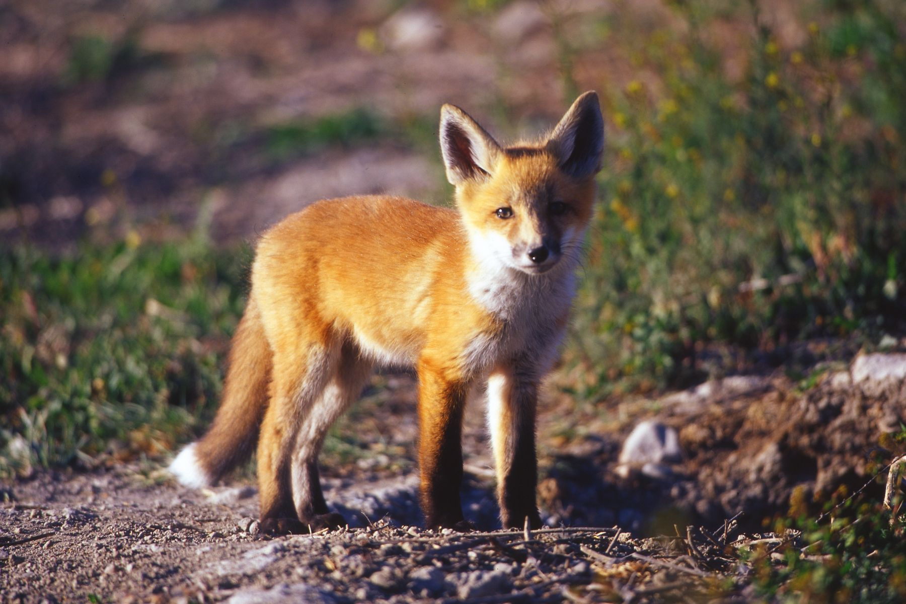The Red Fox (Vulpes vulpes) is a small canid native to