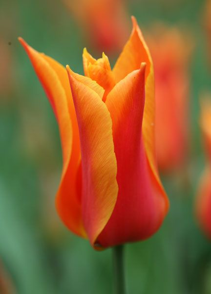 Tulipa Ballerina Lily Flowered Tulip Bulbs Lily Flower Spring Flowering Bulbs Tulips