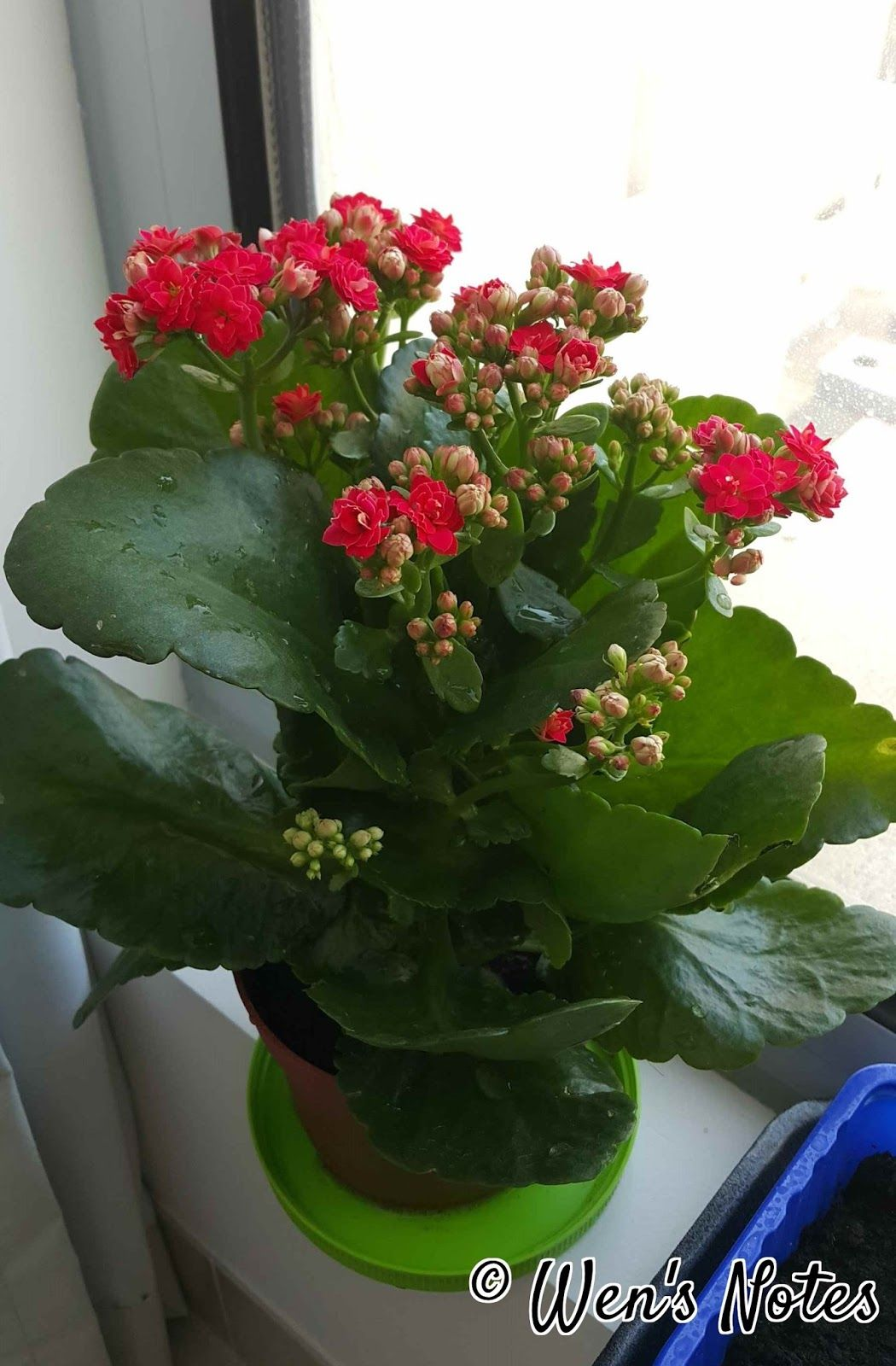 I Bought This Plant From The Supermarket As Its Cheap The Red Little Flower Looks Like Mini Rose When I Look Upon The Plants Inside Plants Kalanchoe Flowers