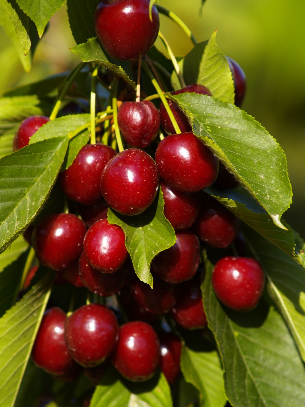 Image for most beautiful fruit trees projects to try for Fruit trees