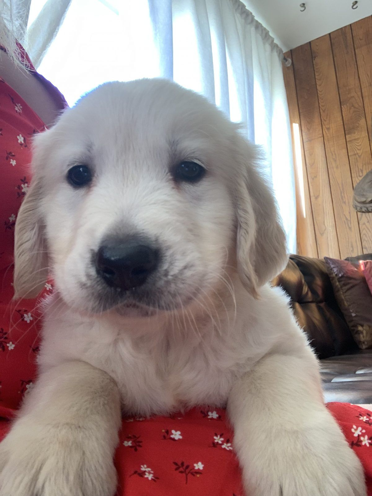 Golden Retriever puppy for sale in Los Ángeles, California