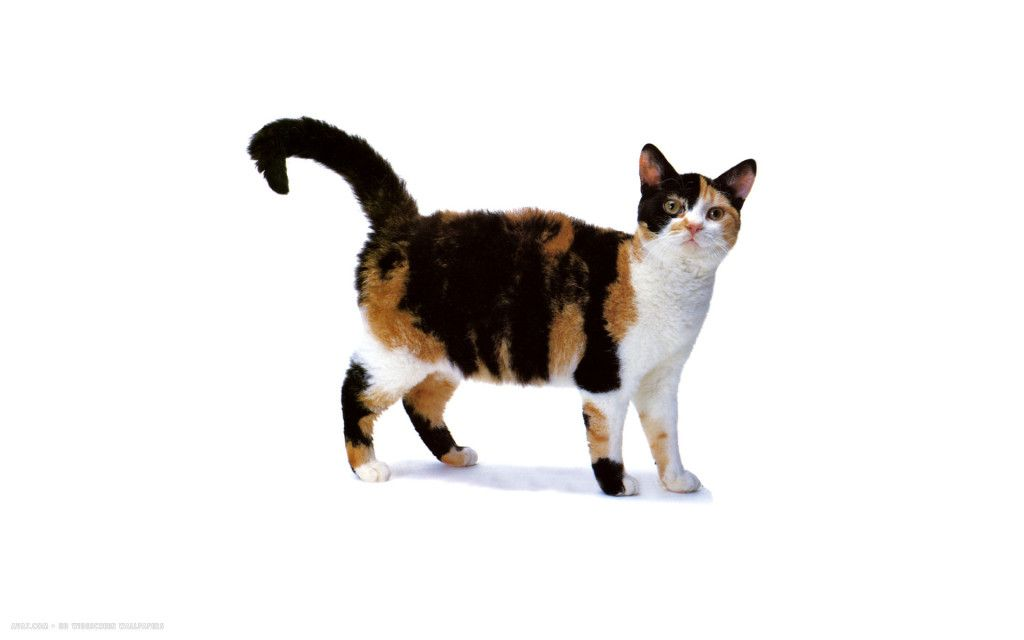 American Shorthair Cat Average Weight