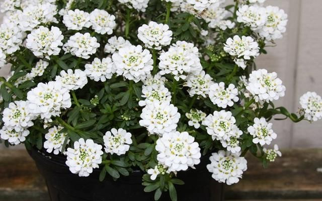 Image Result For Candytuft In Containers Perennials Perennial Plants Plants