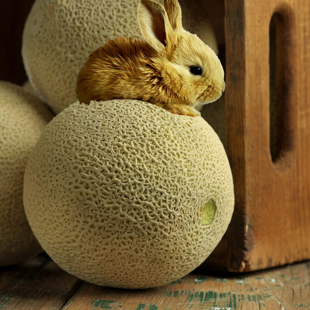 The Easter Bunny Has Brought Us Fields Of California Cantaloupe Set To Hatch At The Start Of May Cantaloupe Fruit Inspiration Quiz which has been attempted 1091 times by avid quiz takers. the easter bunny has brought us fields