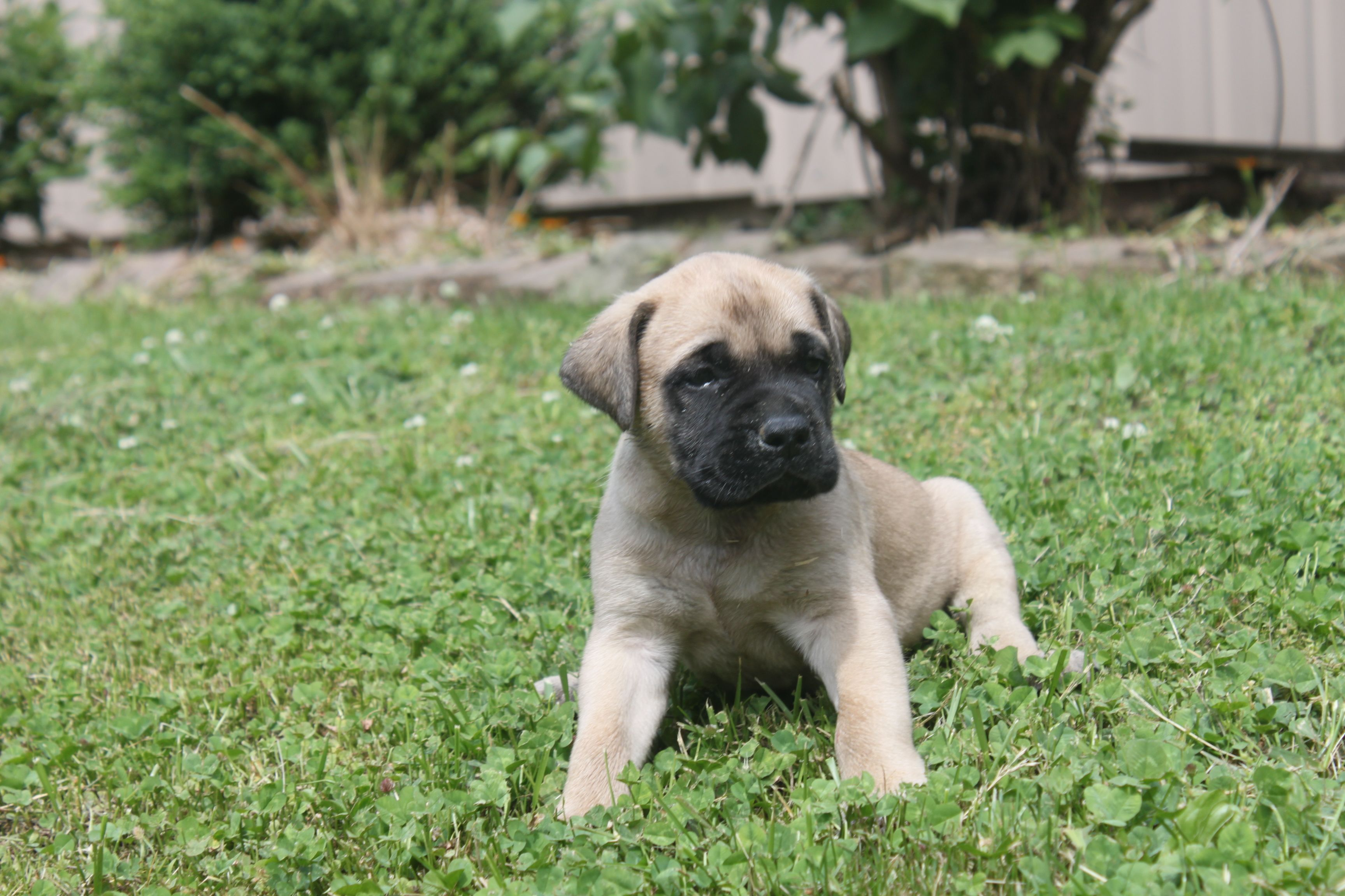 Fawn English Mastiff Puppies Here Is A 5 Week Old Fawn Female