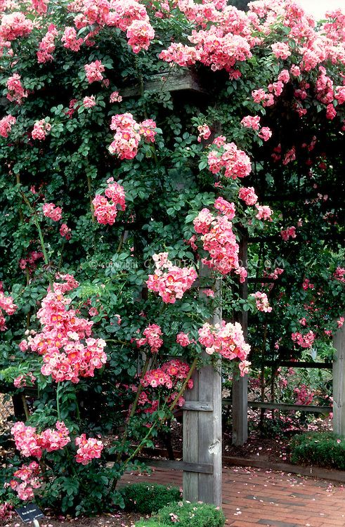 Rosa American Pillar Is One Of The First Rambling Type Climbers