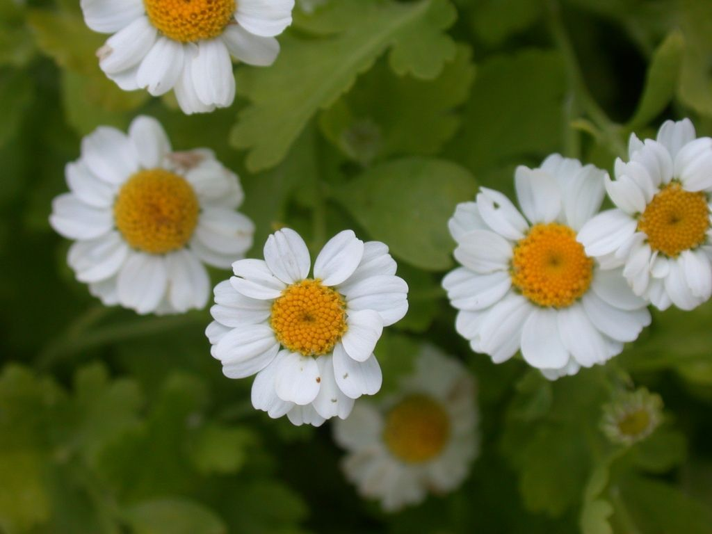 Growing Feverfew Herb In The Garden Feverfew Plant Feverfew Medicinal Herbs