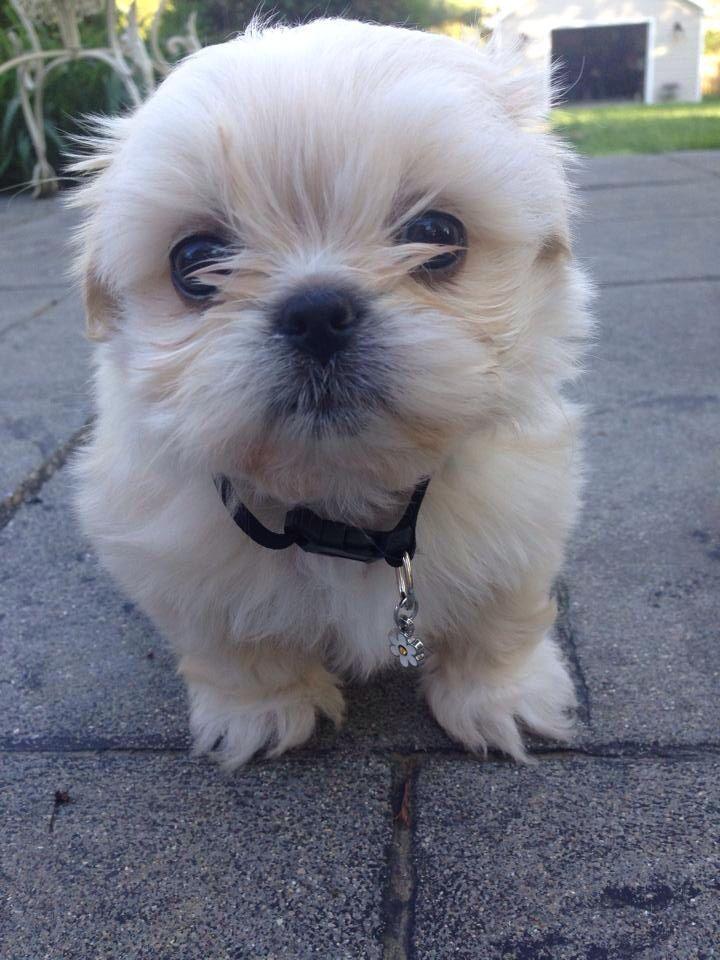 Cream White Imperial Shih Tzu 7 Weeks Old Puppies Shih Tzu