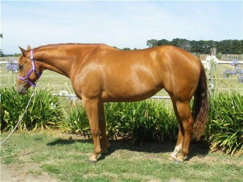 Qh In Foal To Style Worth Watching Imp Melbourne Region Image 2 With Images American Quarter Horse