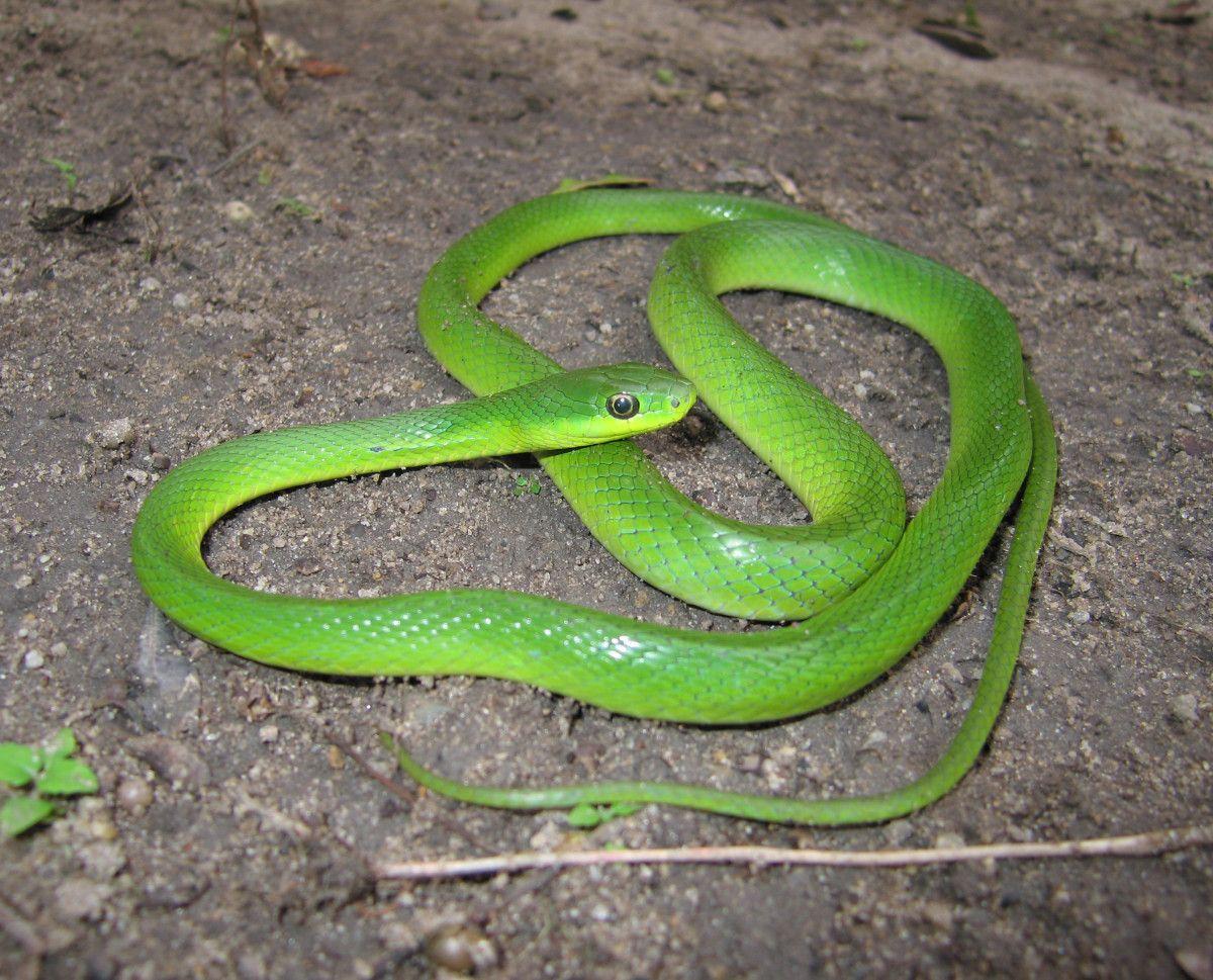 Cobra-Cipó (Philodryas olfersii) | Photography | Cobra