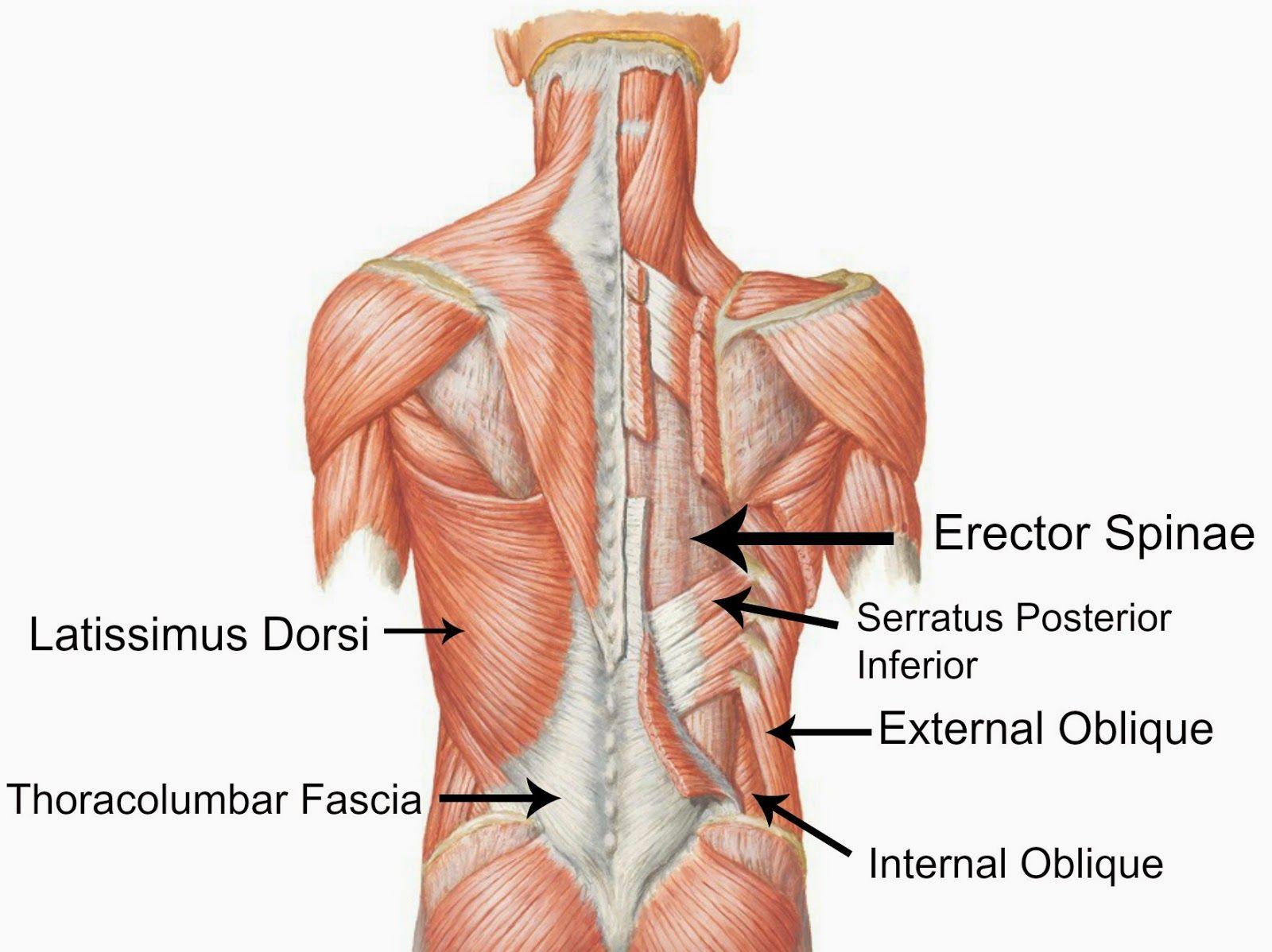 pectoralis major - Google 검색 | anatomy references - body ...