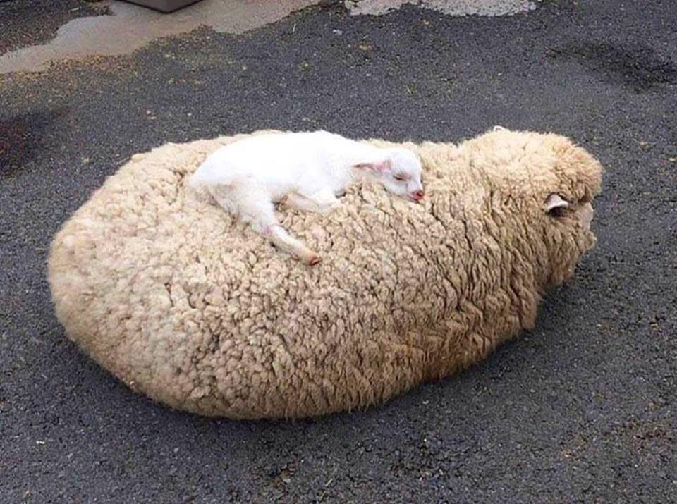 Открытку можно, картинки с овечкой смешные