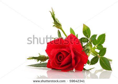 Flores Rosas Fotos, imagens e fotografias Stock   Shutterstock