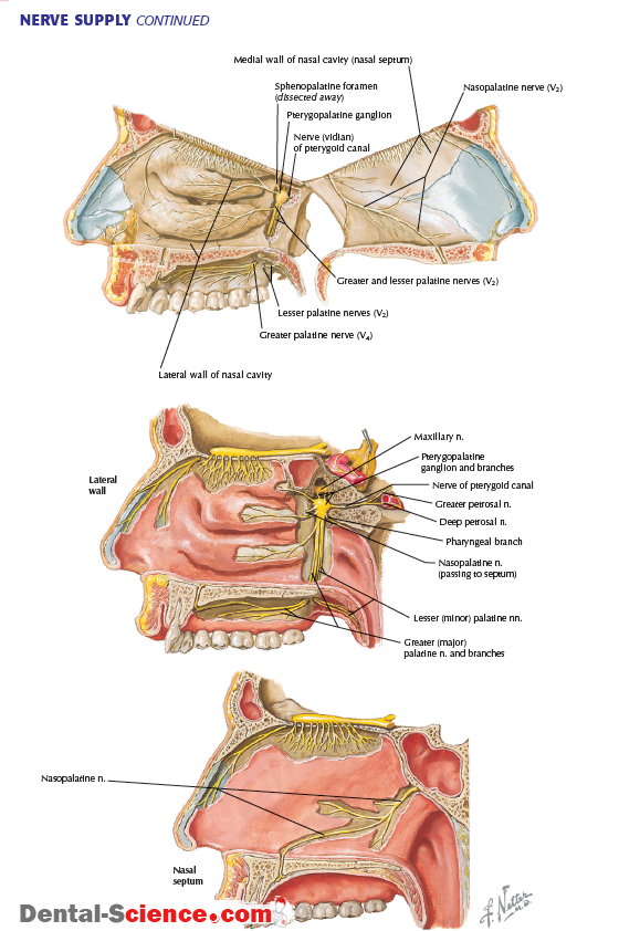 PTERYGOPALATINE FOSSA : Anatomy , Arterial supply , Venous Drainage ...
