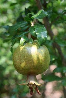 My pomegranate tree!