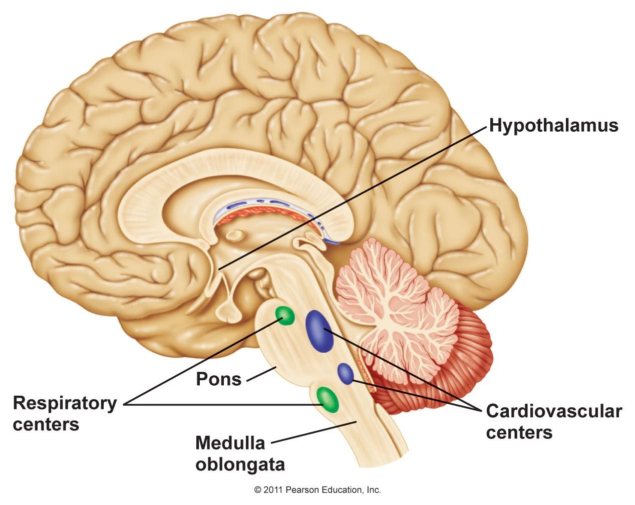Chapter 11 | our brain/notre cerveau | Pinterest