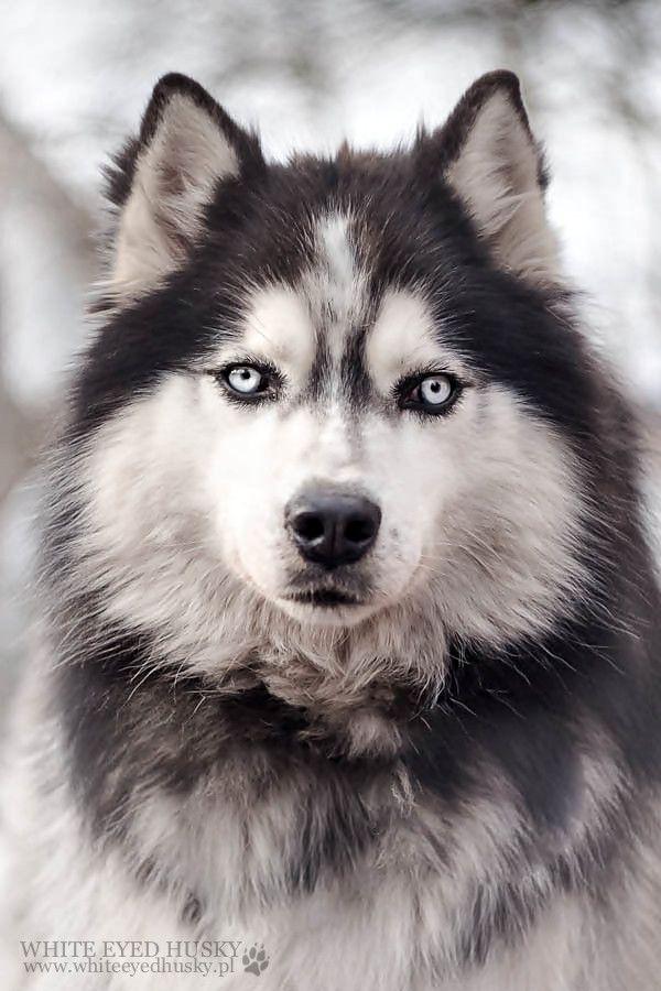Husky By White Eyed Husky Beautiful Dog Breeds Dogs Husky Dogs
