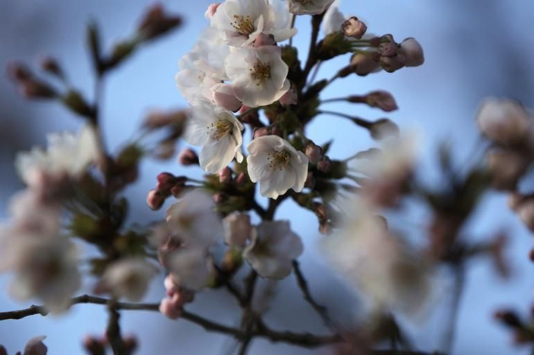 Space Cherry Tree Blossoms 6 Years Early Following Trip Aboard The Iss Cosmic Forces May Have Spurred Growth Tree Seeds Cherry Tree Blossom