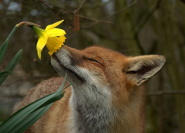 Pickles the fox smelling the daffodil, Spring 2010