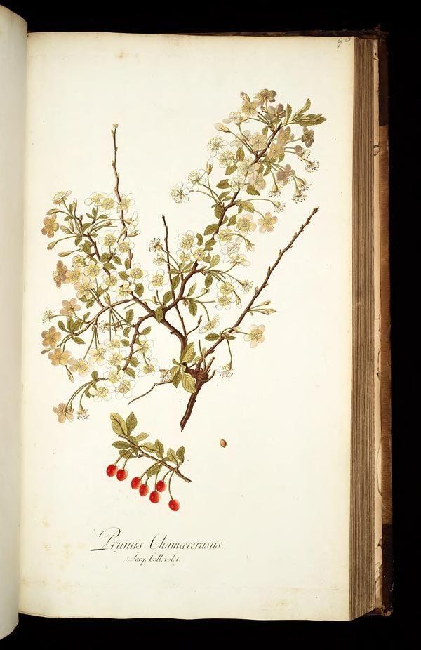 vol. 1 - Icones plantarum rariorum - Biodiversity Heritage Library