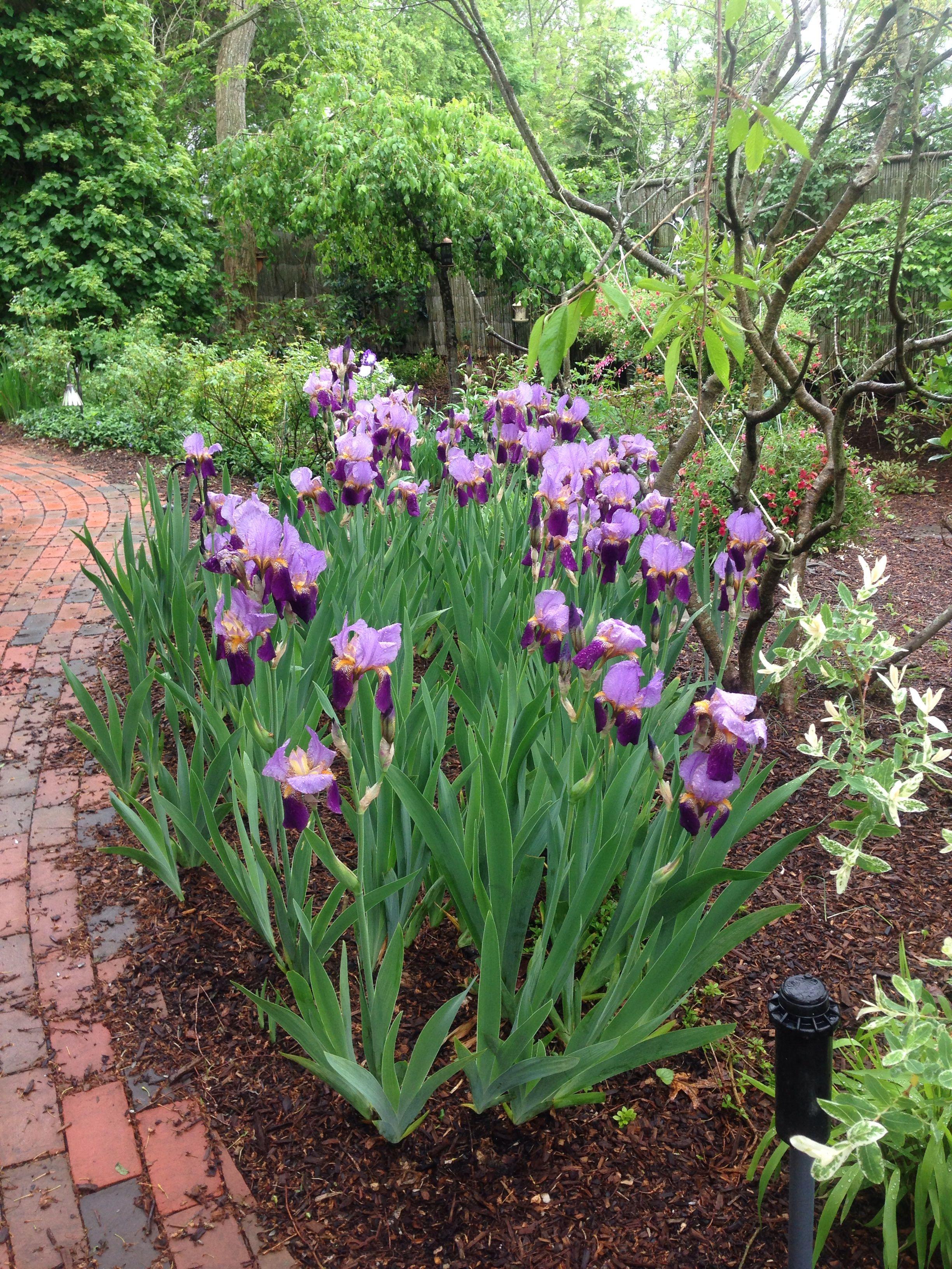 Irises My Favorite Front Yard Garden Front Yard Garden Design Plants