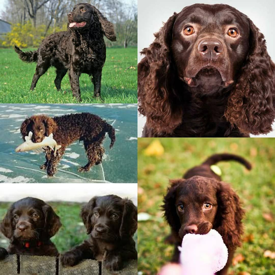 The American Water Spaniel is Wisconsins state dog! Theyre ...